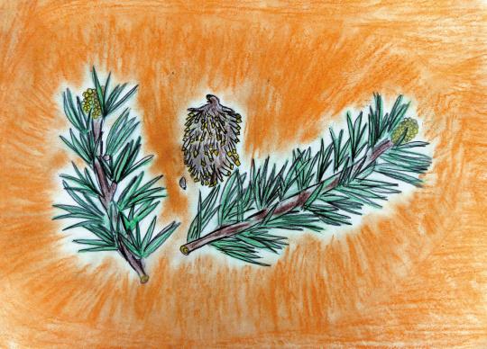 22 Borovice Lesni Pinus Silvestris